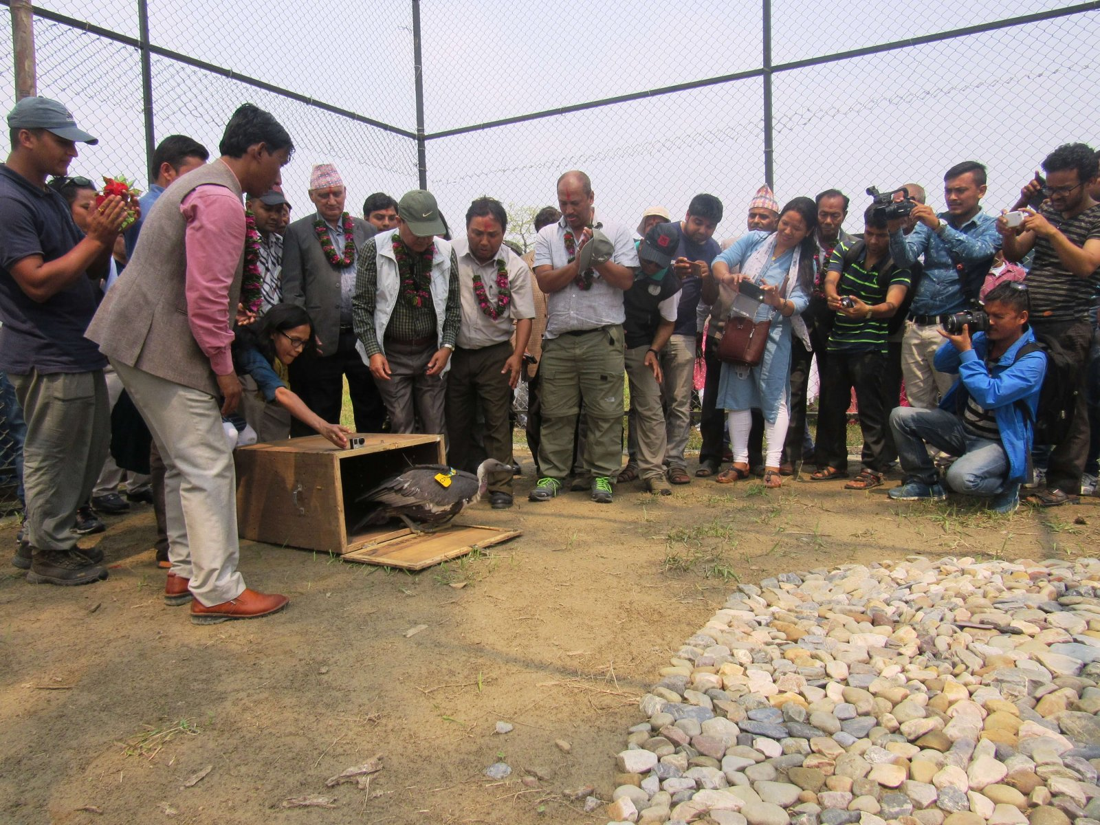 The first ever release of captive-bred White-rumped Vultures sparked a media flurry © BCN