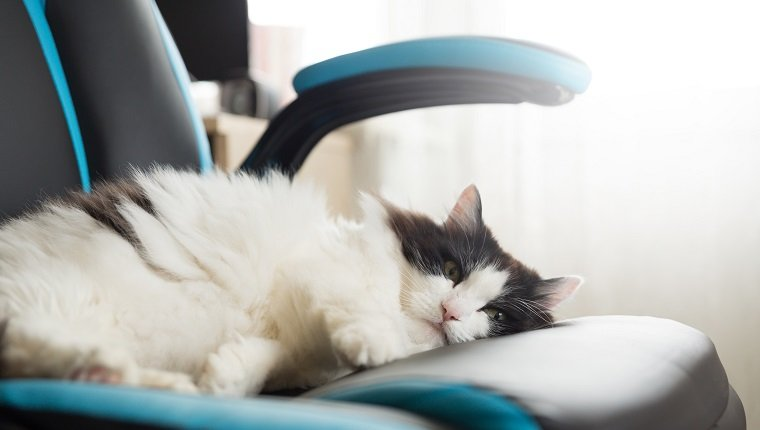 Fluffy black and white cat sleeps on a gaming chair on a window