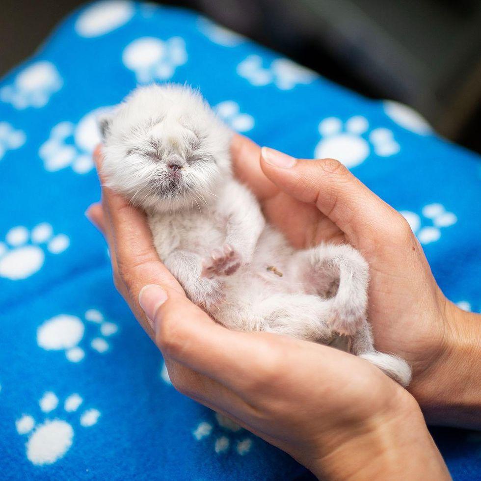 grandpa, cat, kitten, Himalayan kitten