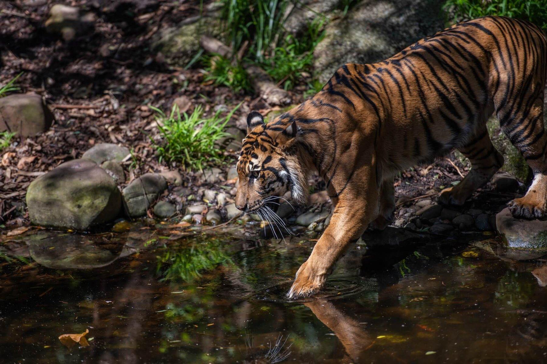 Researchers studied a rubber plantation's effect on the Sumatran tiger © Pen Ash / Pixabay