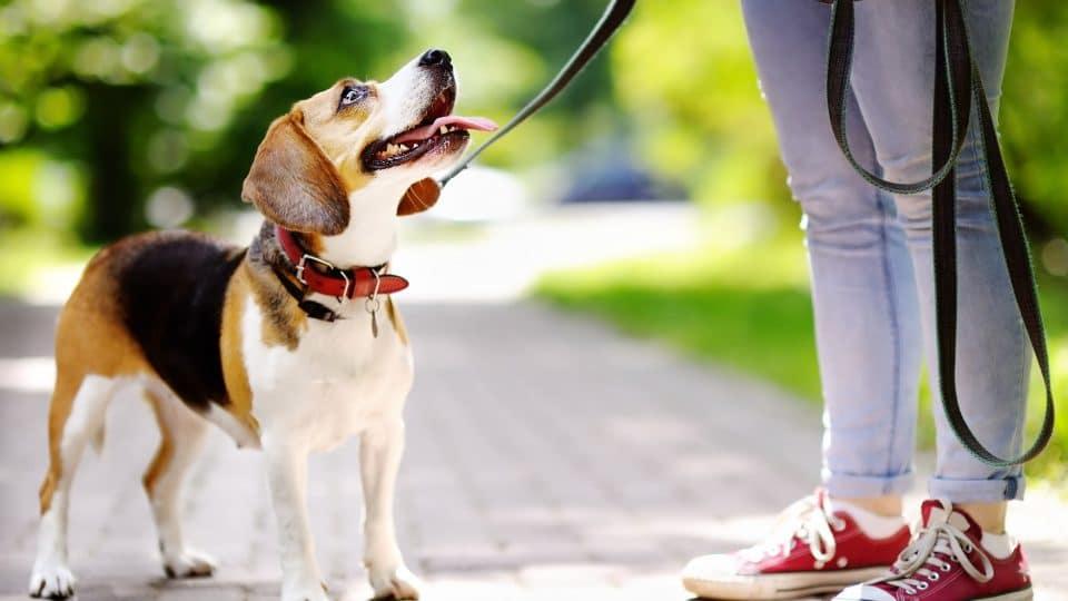 beagle on leash looking at walker