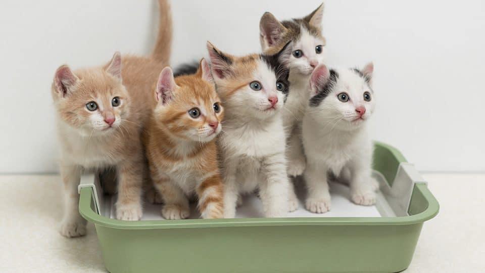 kittens in kitten litter box