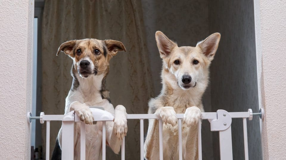 two medium sized mixed breed dogs looking out over a dog gate