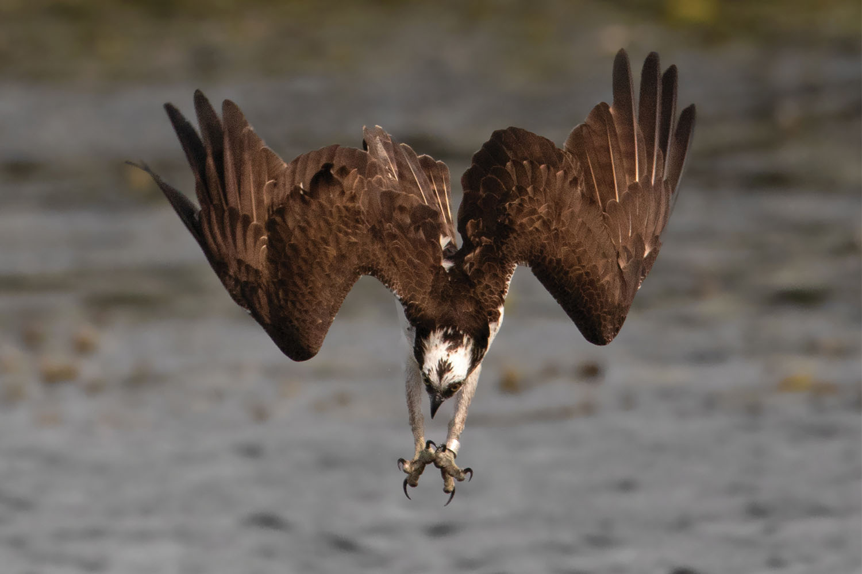 Osprey migration