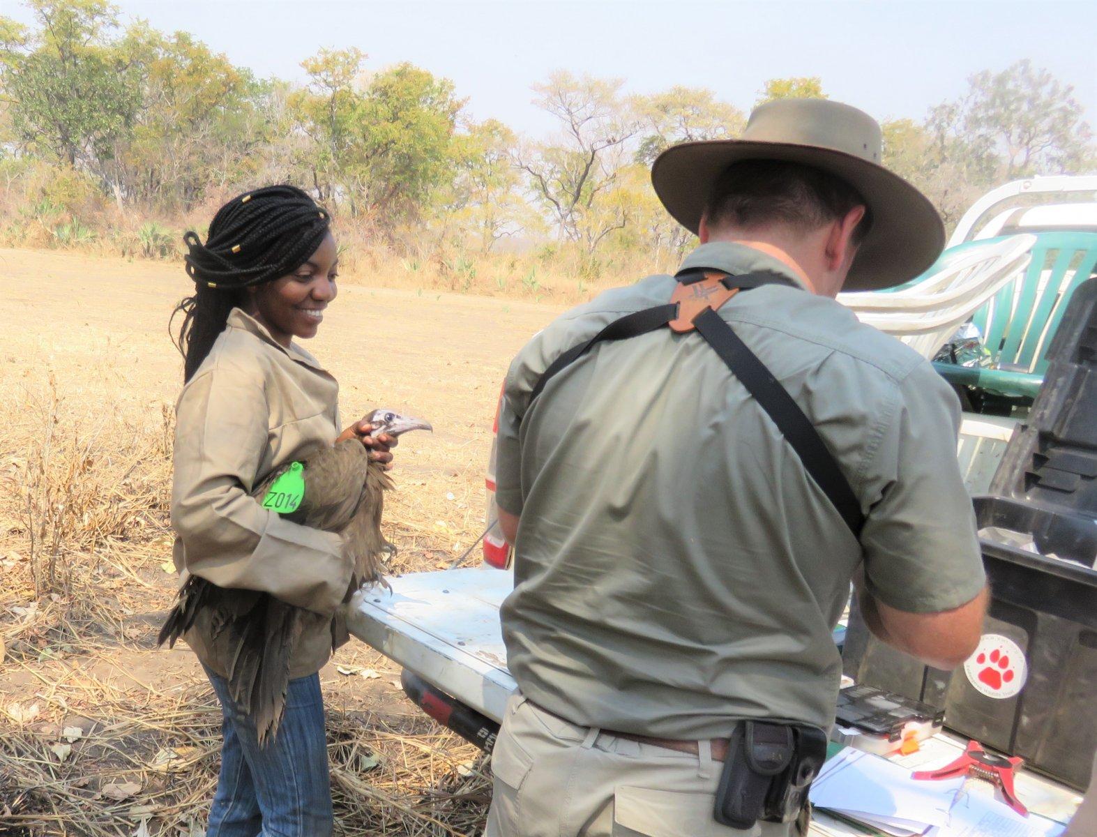 Mary Malasa, BirdWatch Zambia ecologist, handling a Hooded Vulture © BirdWatch Zambia