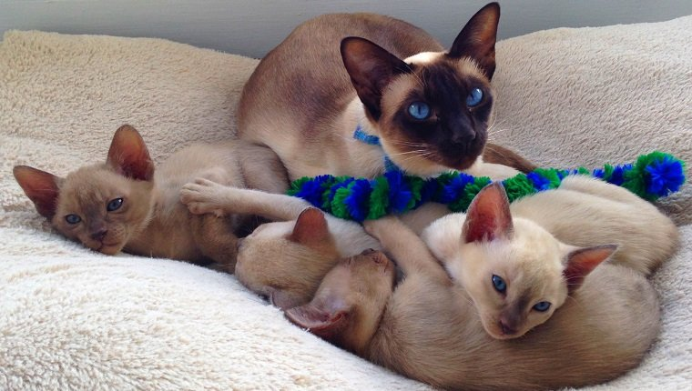 Beautiful blue eyed chocolate point tonkinese cat lying in a cat bed with her four six week old kittens on Mother's Day.