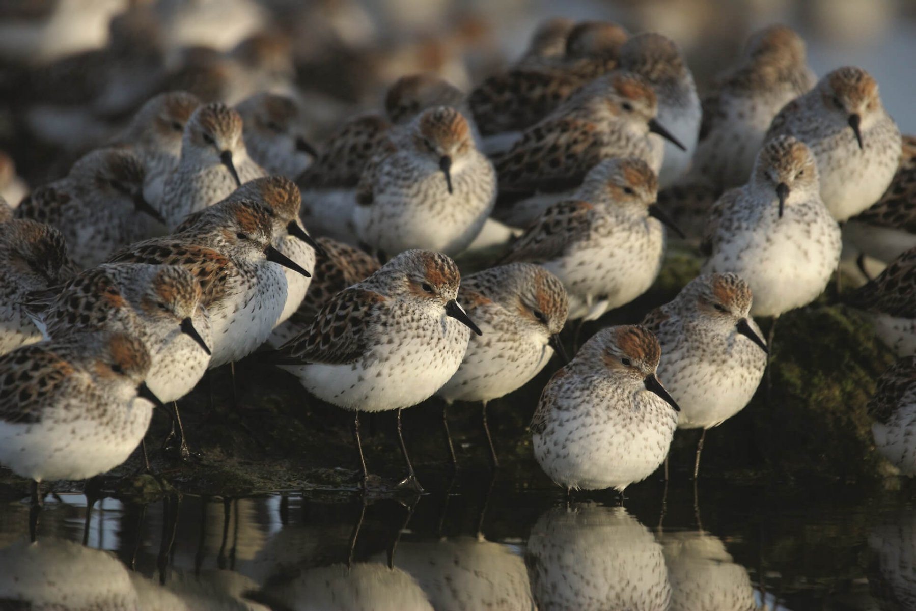 Thousands of Western Sandpipers stop at Fraser Delta en route to their breeding grounds © Tom Middleton / Shutterstock