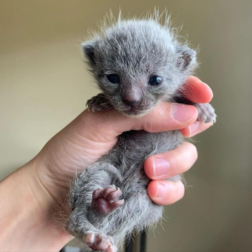 fluffy kitten, grey kitten
