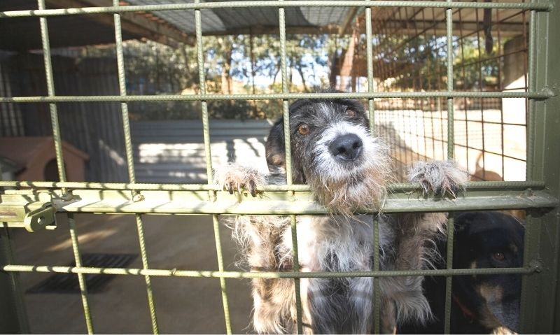 A large grey and back wire-haired dog is locked in a metal cage, standing on its hind legs looking through the side of the cage and sticking its nose through the cage wall.