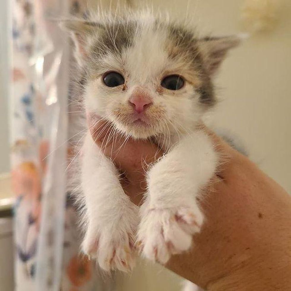 palm-sized kitten, calico