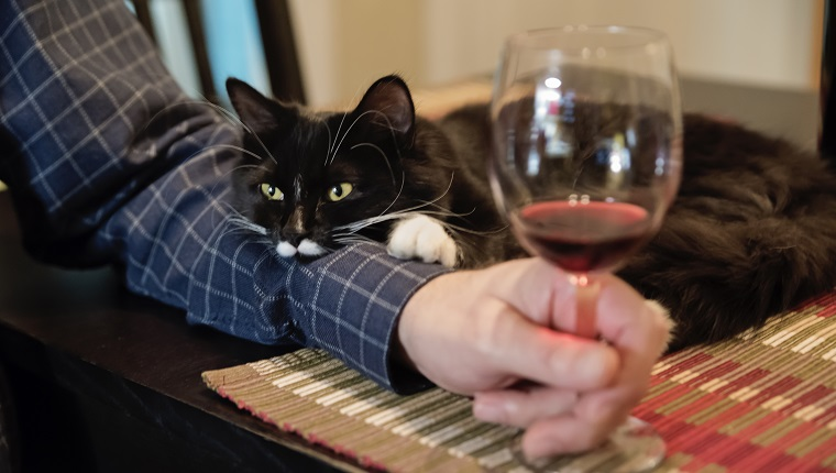 No way this cute 6 months cat will be left alone at happy hour. It is resting on owner's arm. Man holding a glass of wine. Horizontal indoors shot.