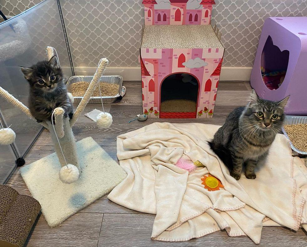 tabby kitten, cat mom, playpen