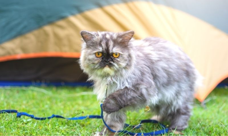 A long-haired grey and white cat with yellow eyes is standing outside in the grass attached to a blue leash and in front of an orange and grey tent.