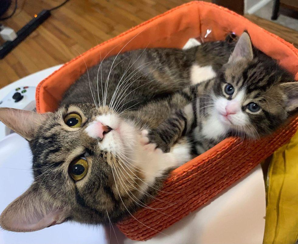 basket, cute tabby cats