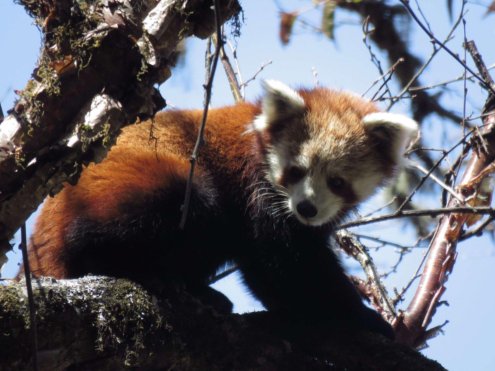 Red Panda (Endangered) in Arunachal, India © Rimung Tasso