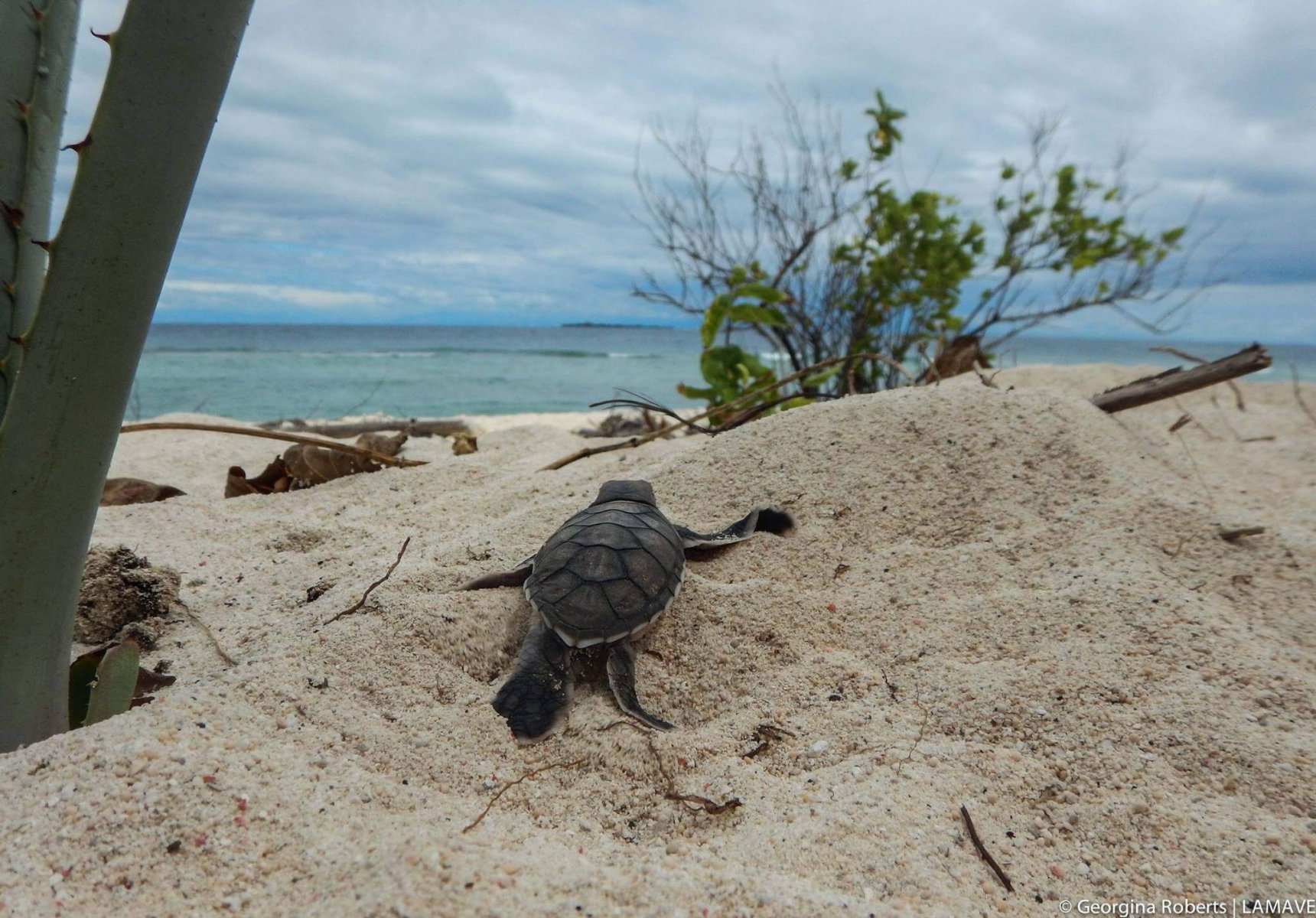 A turtle hatchling on a beach in Palawan, Philippines © Georgina Roberts/LAMAVE