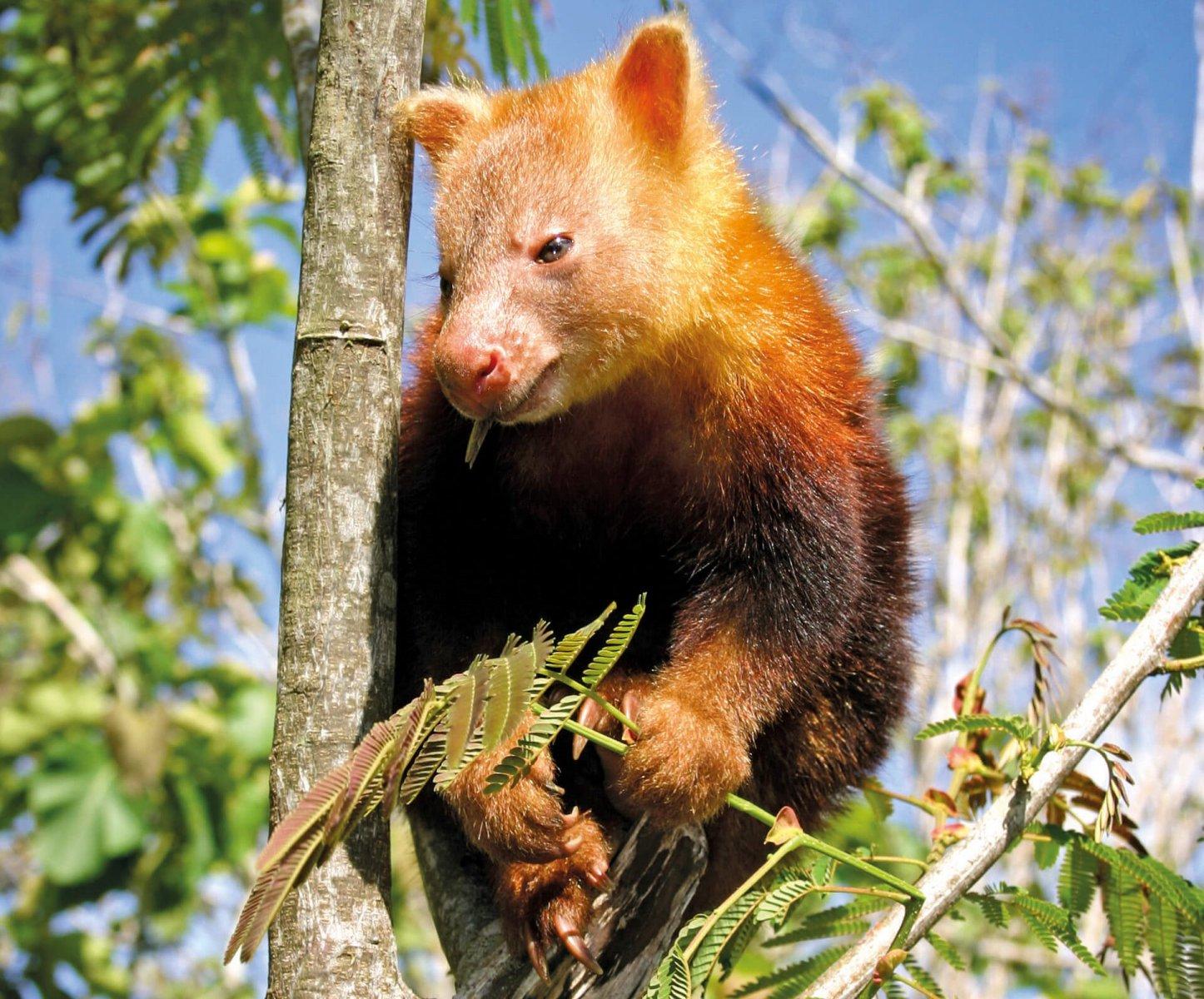 Golden-mantled Tree Kangaroo (Critically Endangered) © Matt West