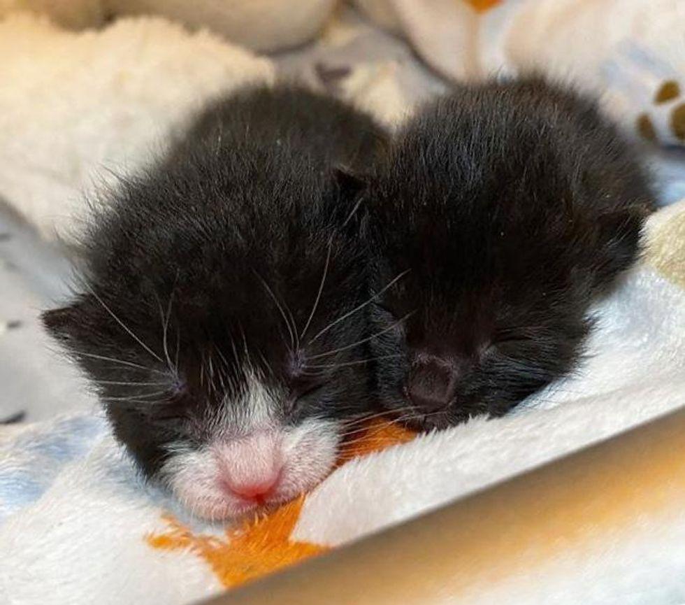 bonded kittens, baby kittens