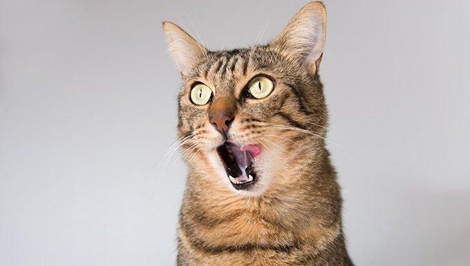 cat licking chops