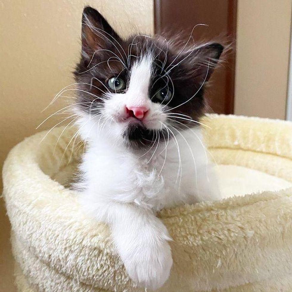 cleft lip kitten, whiskers