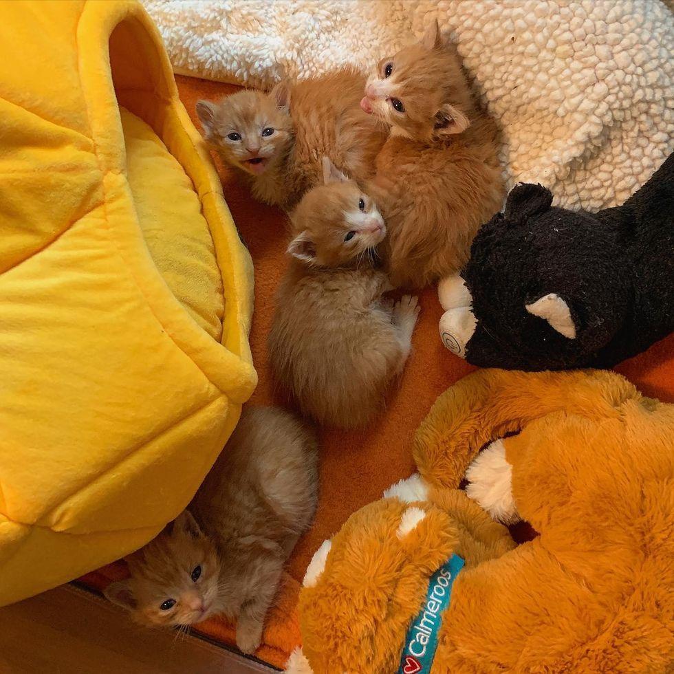 orange kittens, ginger litter