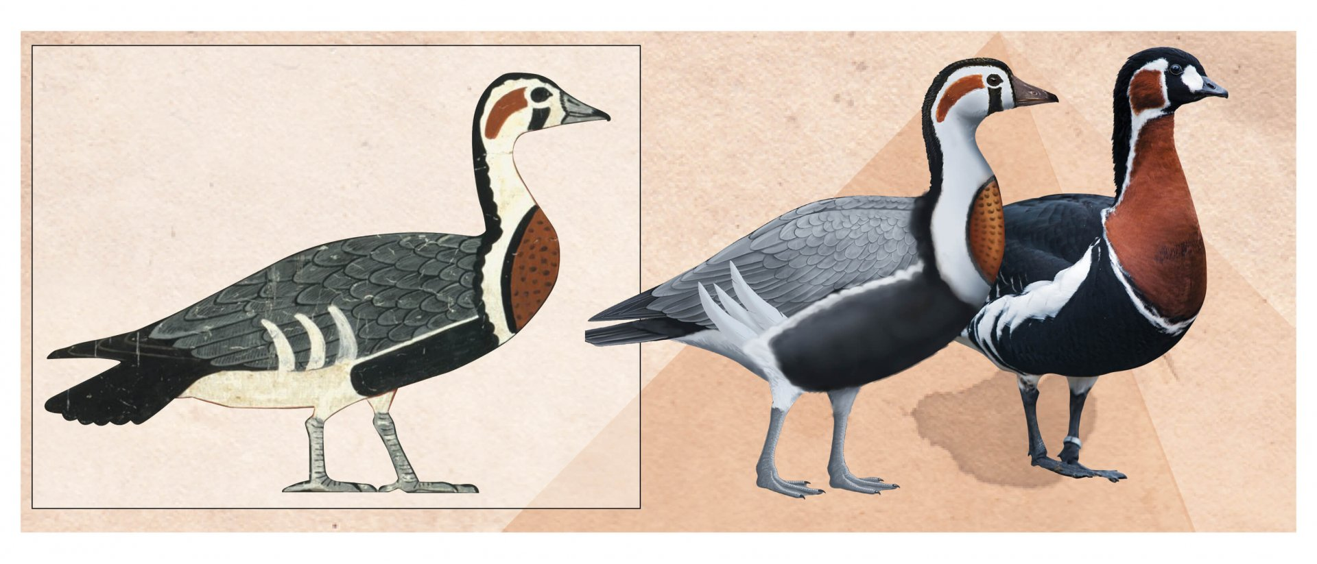 A life reconstruction by  Romilio next to a modern  Red-breasted Goose - .