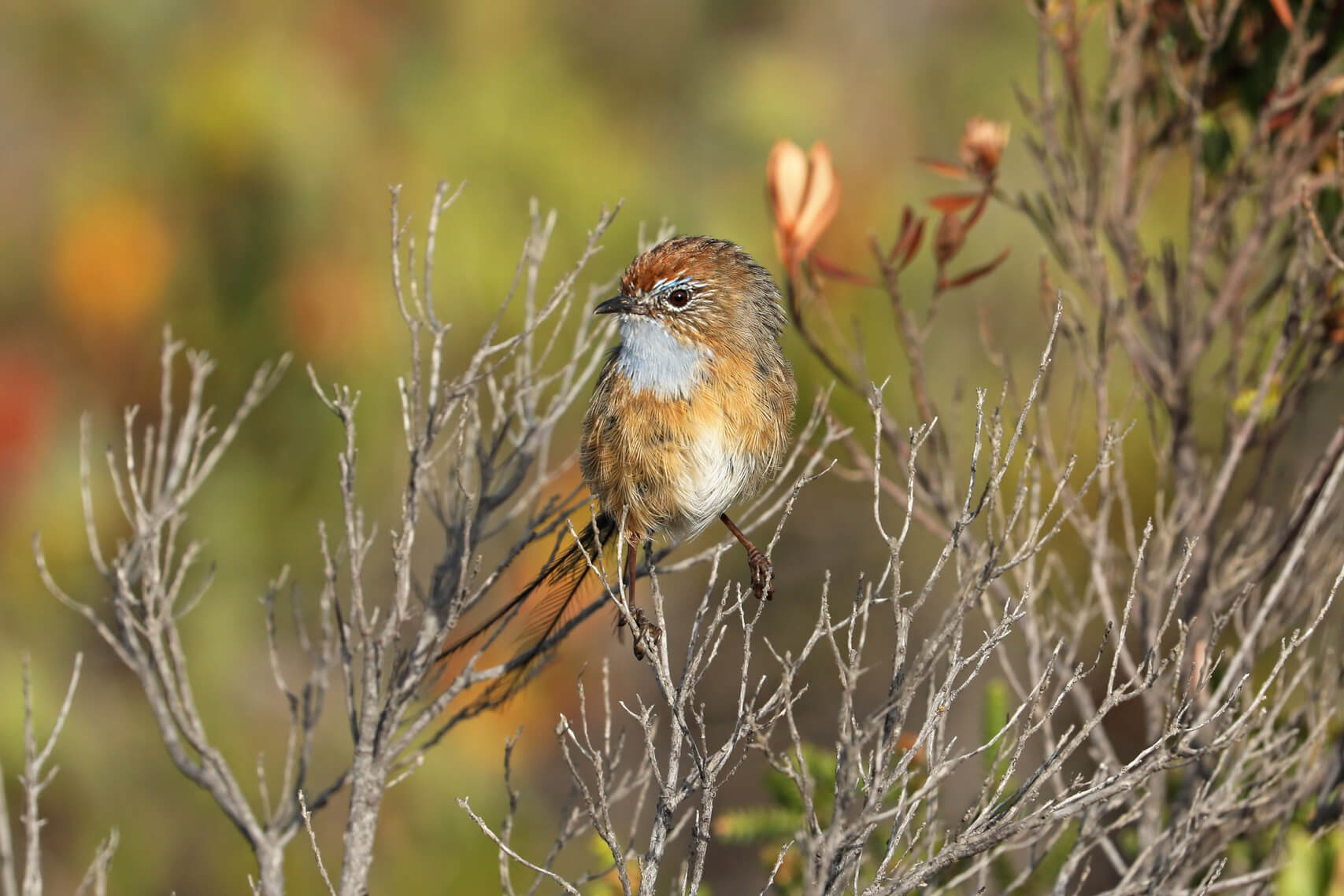 Southern Emu-wrens were found surviving in patches of unburnt vegetation © Tom Hunt