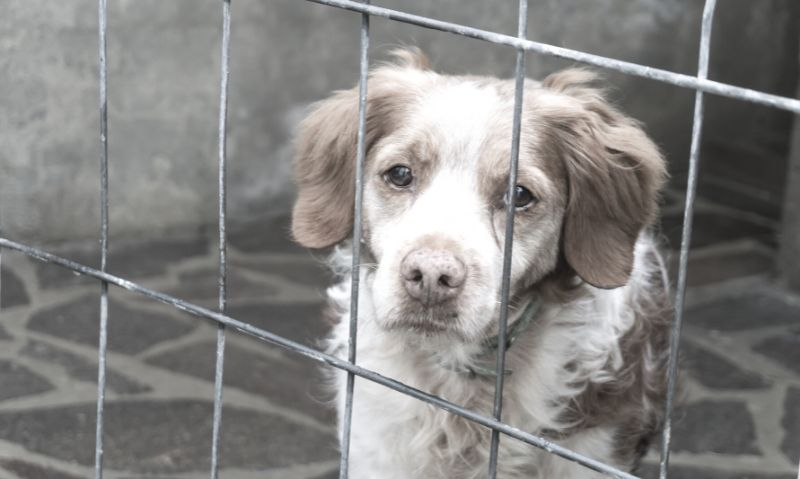 A long-haired grey and white dog with floppy grey ears is sitting inside a wire cage, looking through the cage wall.