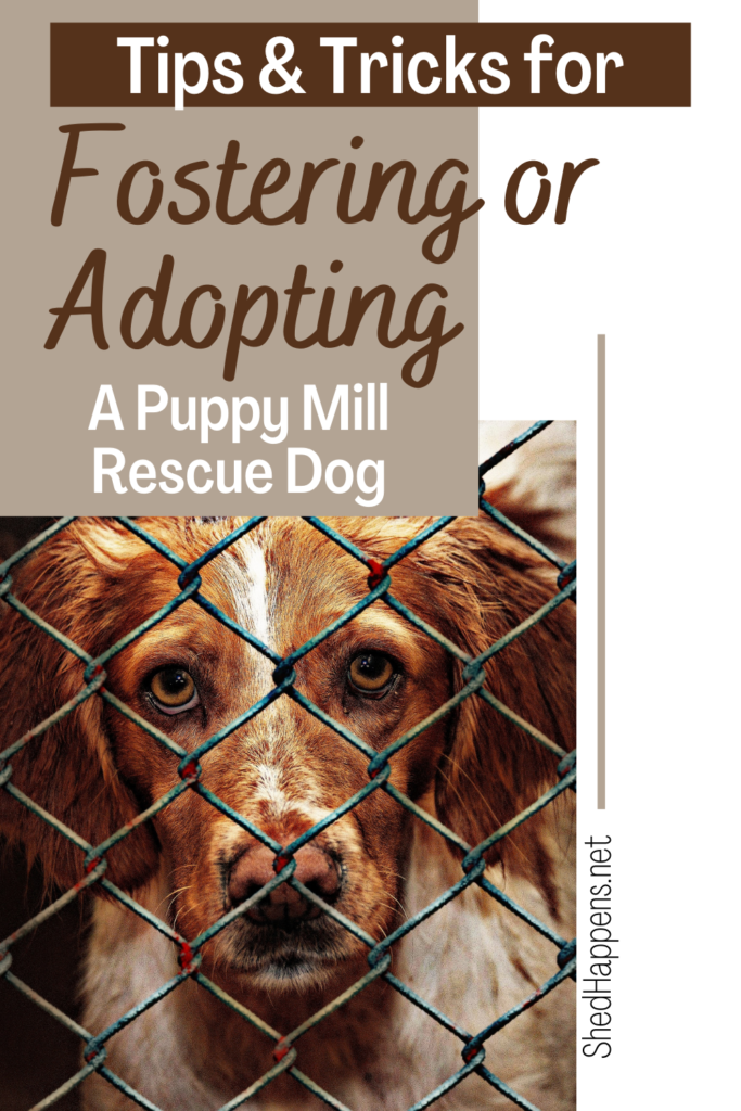 A brown and white dog with floppy brown ears is standing in a wire cage with other dogs close by on each side, looking out through the cage wall.  Text announces tips & tricks for fostering or adopting a puppy mill rescue dog.
