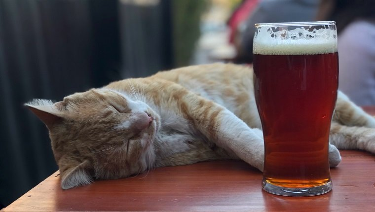 Cats can't drink alcohol. Photo taken in Córdoba, Argentina. Cat lying by beer.