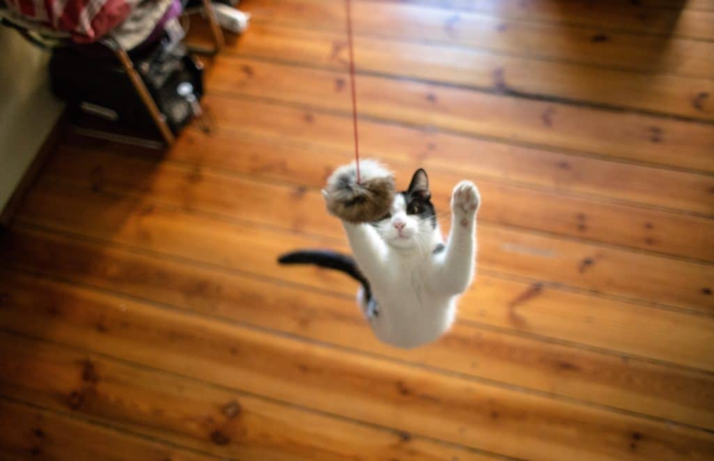 cat chasing a wand toy