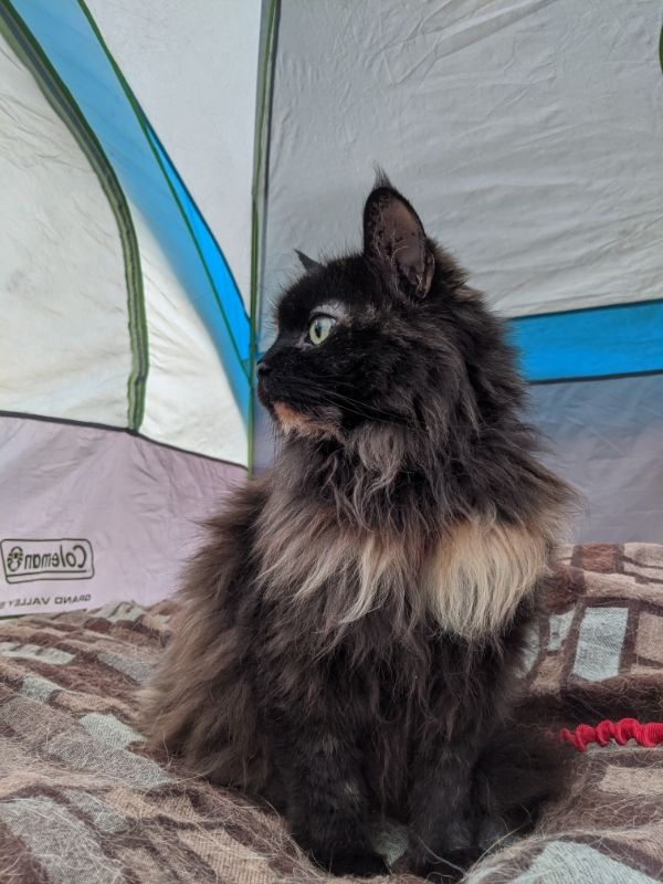 A long-haired tortoiseshell cat is sitting on a brown and blue blanket inside of a grey tent.