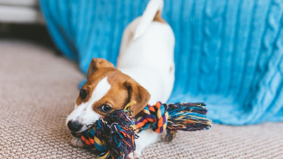 terrier puppy chewing on a rope toy