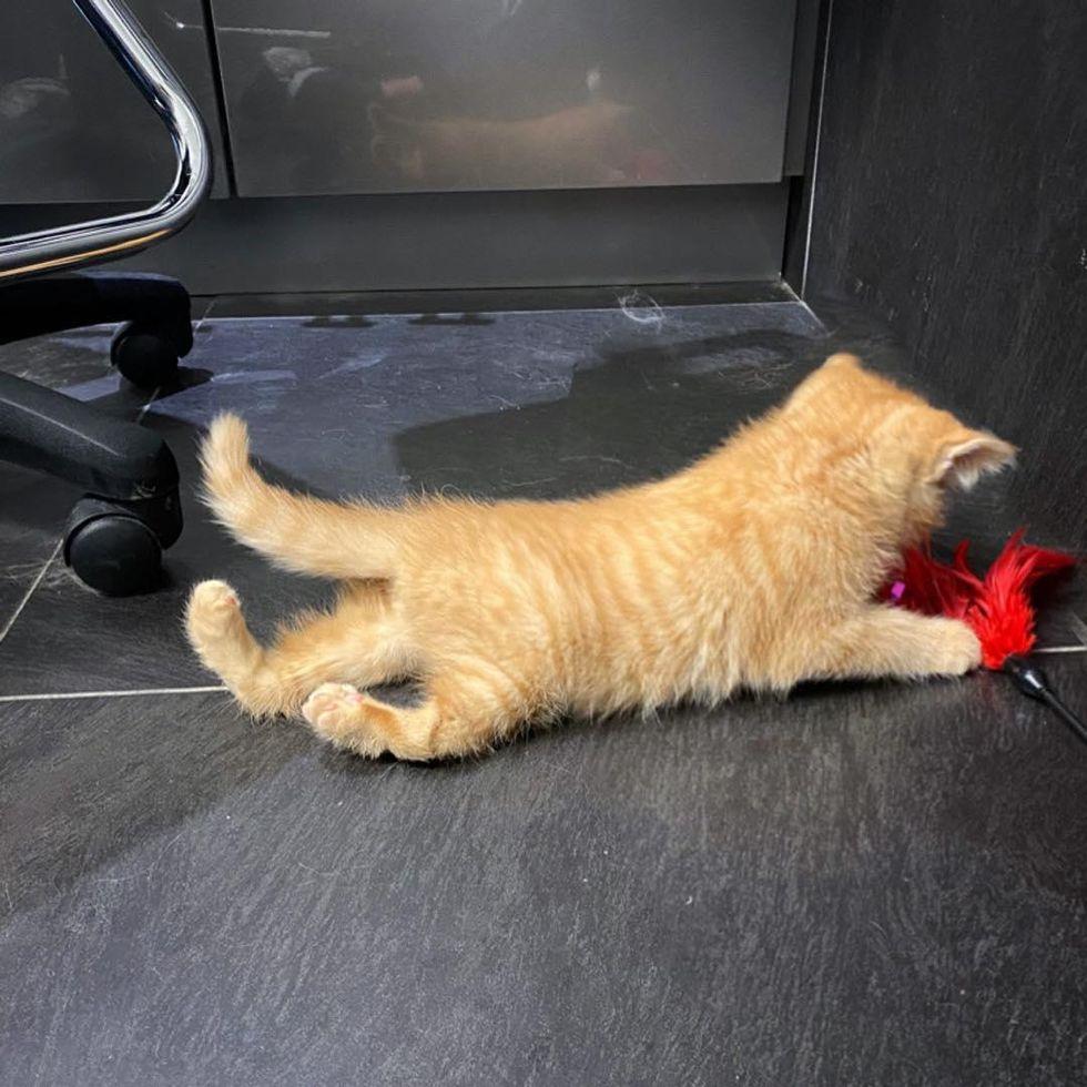 playful kitten, twisted back legs