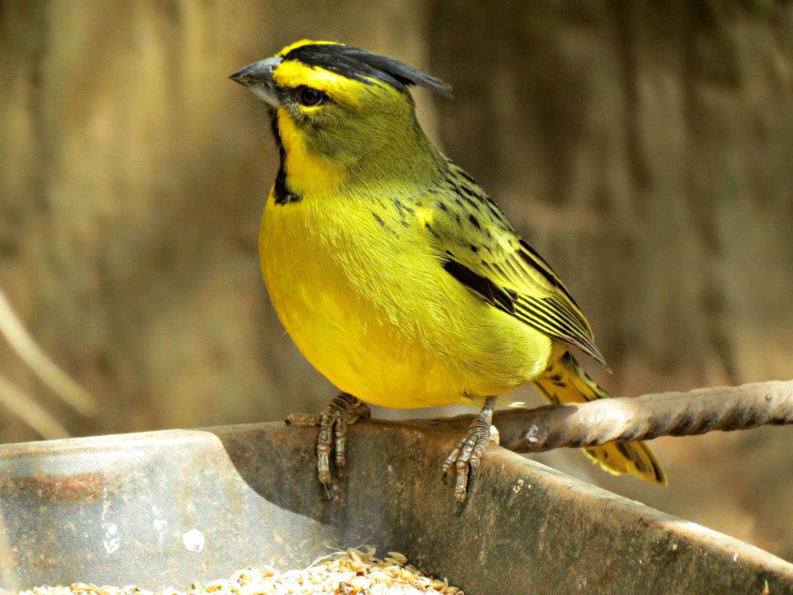 Yellow Cardinal © Linda de Volder / Flickr