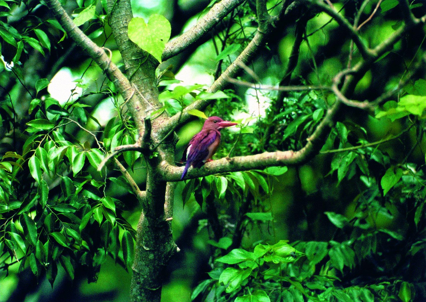 The Ryukyu Ruddy Kingfisher, an Okinawan subspecies © HIH Prince Takamado