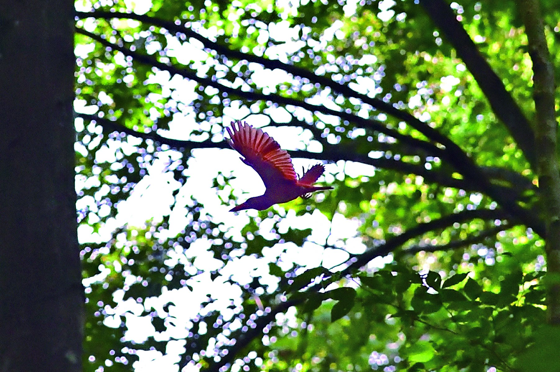 A Ruddy Kingfisher flying in the forest © HIH Princess Takamado