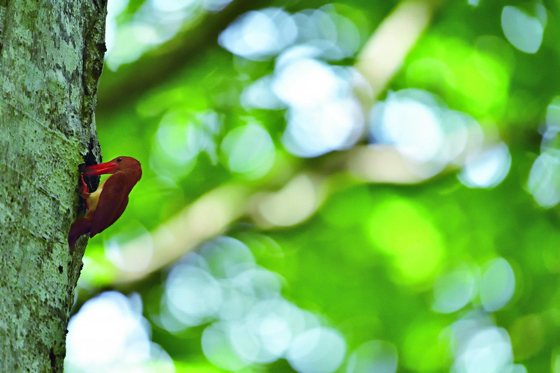 The nest of a Ruddy Kingfisher © HIH Princess Takamado