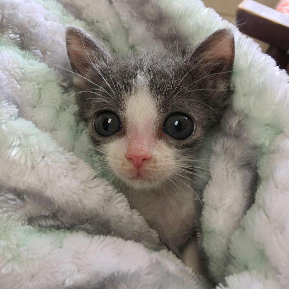 tiny purrito kitten