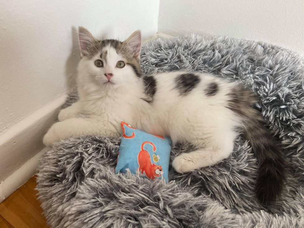 kitten with pillow