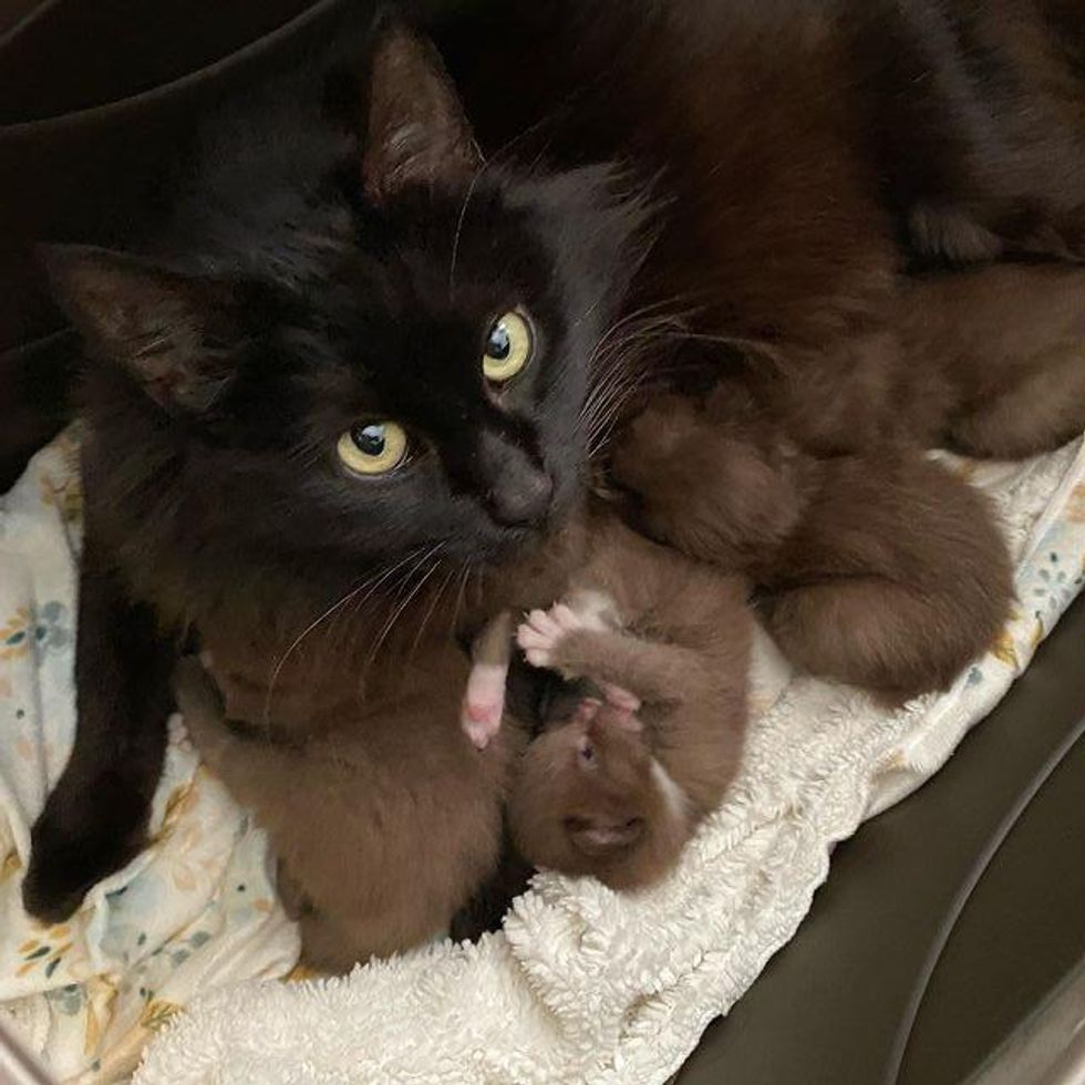 cat mom and brown kittens