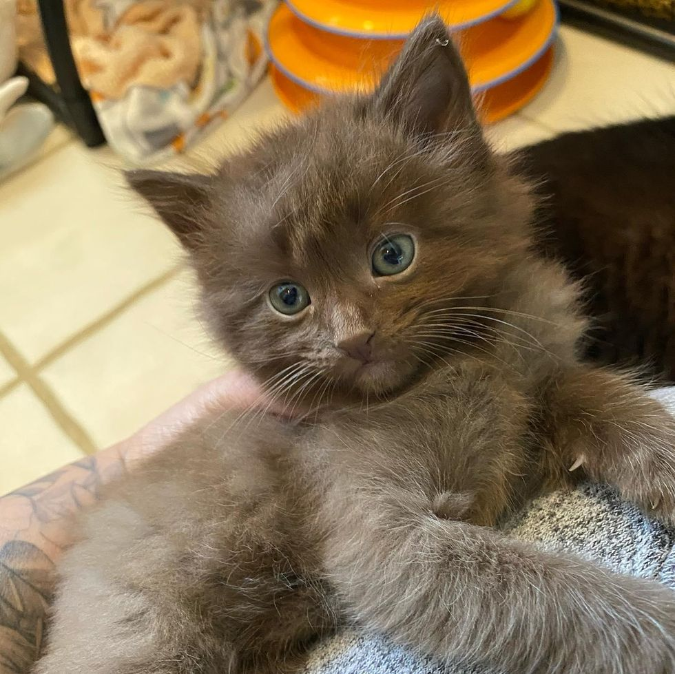 chocolate brown kitten