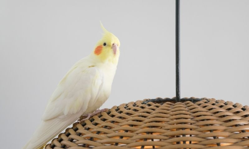 Cockatiel sitting on top of a woven bamboo lamp shade.