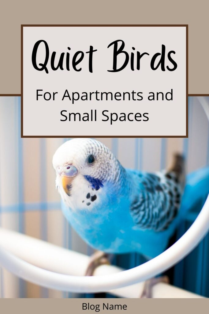 Blue, white and black budgie sitting on a perch inside a cage. Text states: Quiet birds for apartments and small spaces.