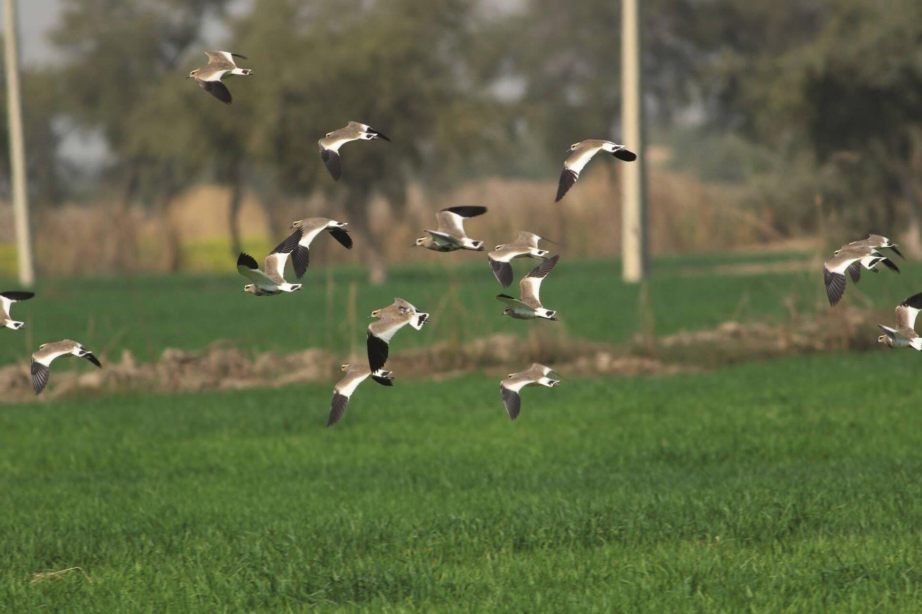 "Sociable Lapwings in Baluchistan, Pakistan: satellite-tagged bird, ""Maysa"", in centre © Saiban Development Foundation"