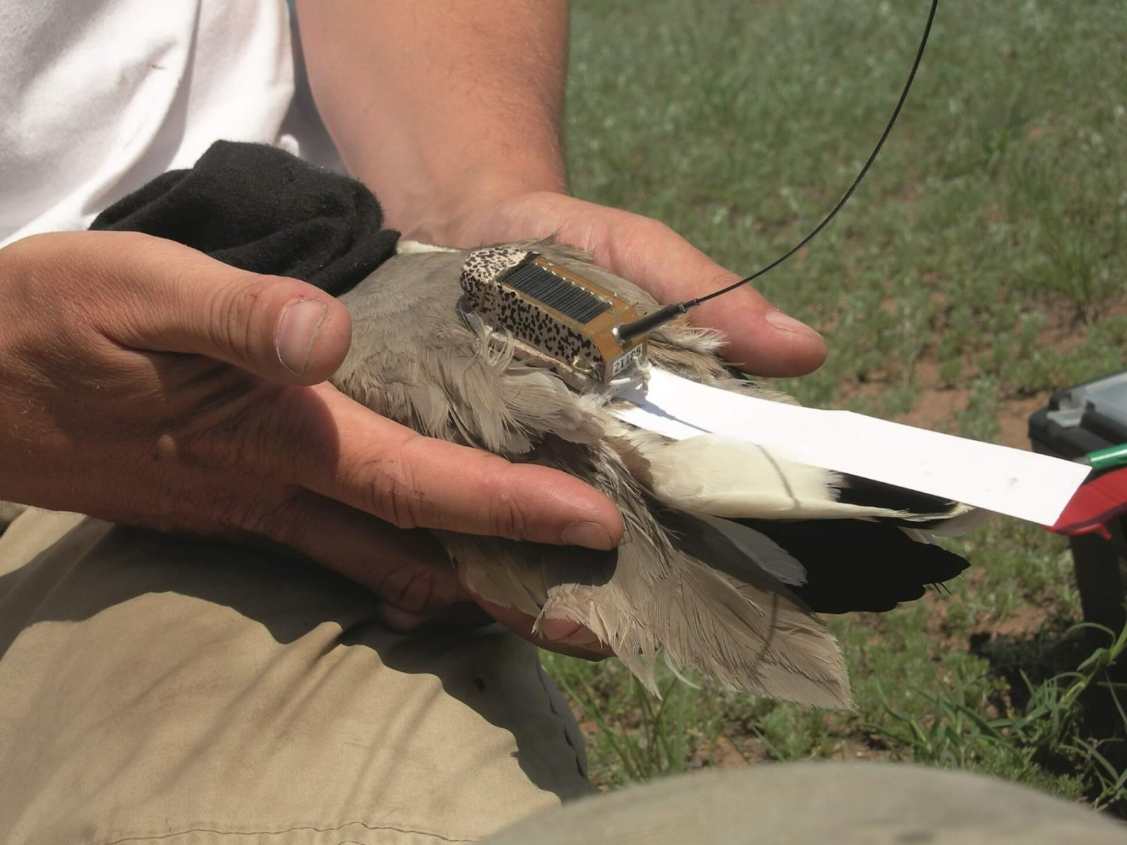 Satellite tags were crucial in identifying migration routes and key stopover sites © Rob Sheldon