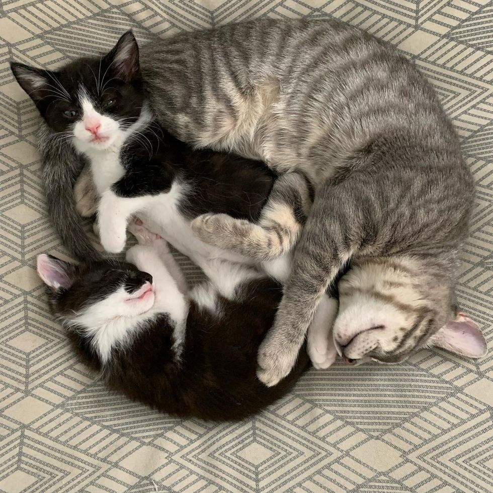 kitten cuddle puddle, cat cuddles