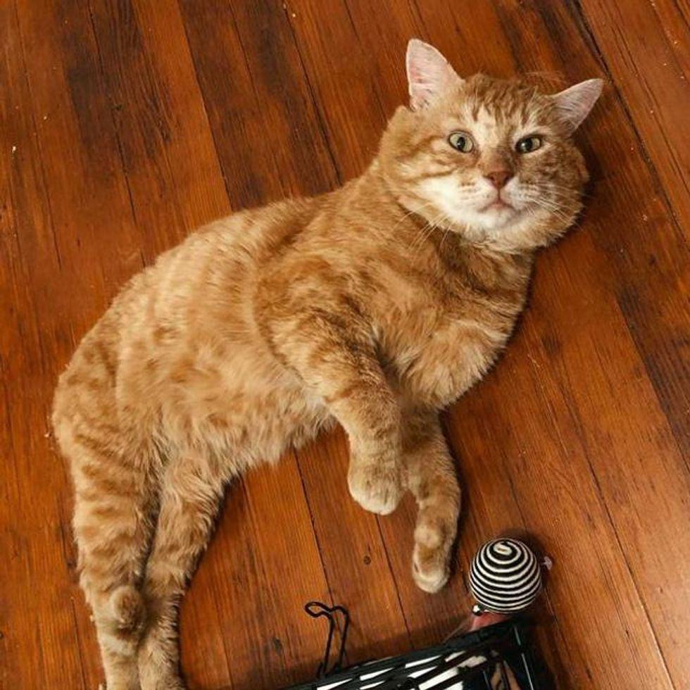 orange tom cat