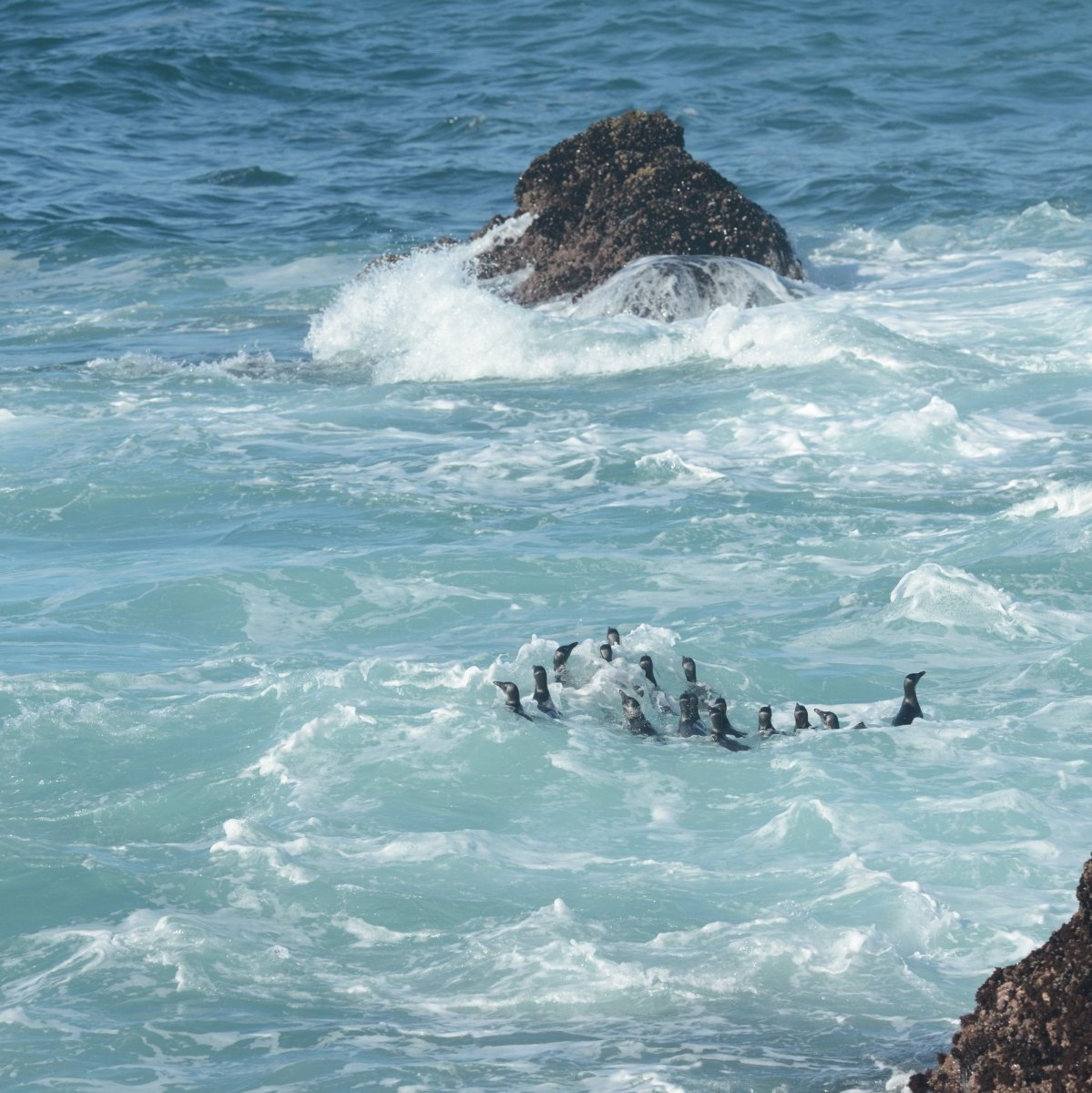 he penguins instinctively knew that they needed to go to sea  © Alistair McInnes/BirdLife South Africa