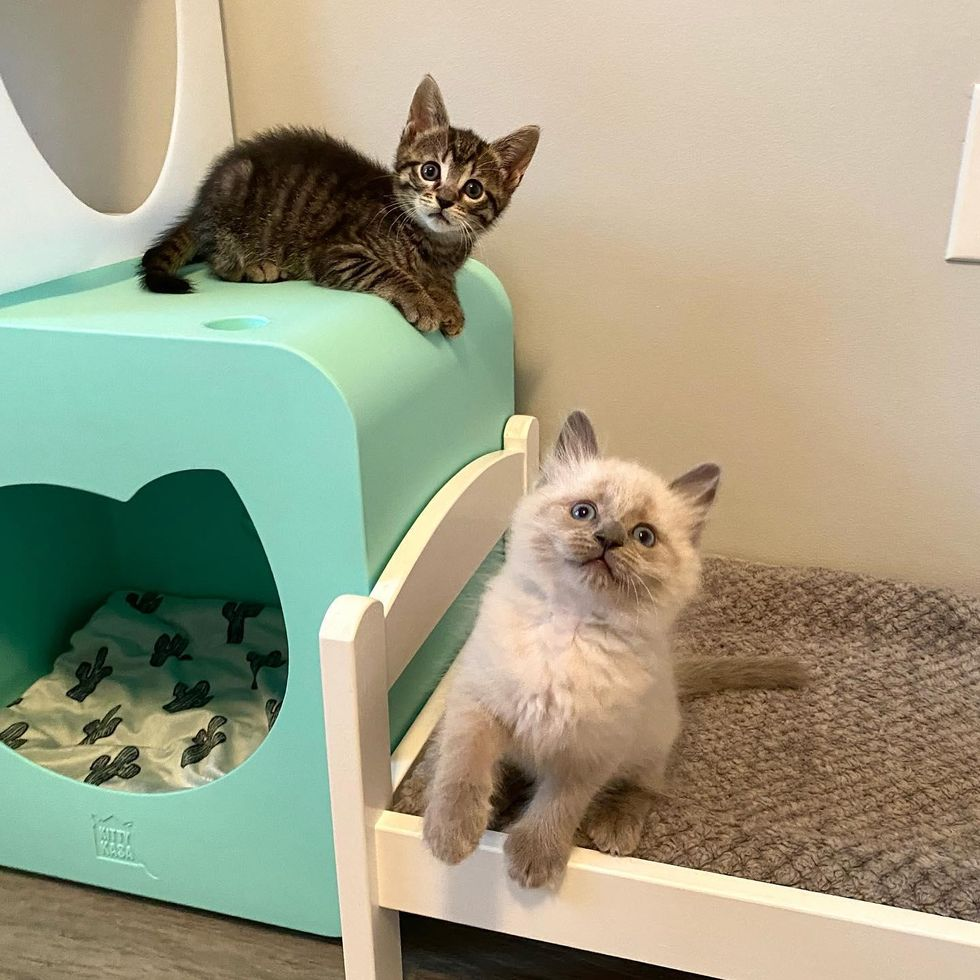 fluffy kitten blue colorpoint